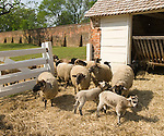 Washington DC; USA: George Washington's historic estate at Mount Vernon, his favorite breed of Hog Island sheep.Photo copyright Lee Foster Photo # 35-washdc80337