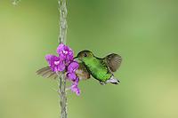 Coppery-headed Emerald, Elvira cupreiceps, male in flight feeding on Porterweed(Stachytarpheta), Central Valley, Costa Rica, Central America, December 2006
