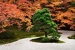Japanese black pine tree, Pinus thunbergii, at Tenjuan Temple Zen Garden in colorful fall scenery, Nanzen-ji complex, Kyoto, Japan 2017 Image © MaximImages, License at https://www.maximimages.com
