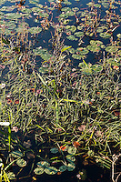 Aquatic plants growing in a pond.