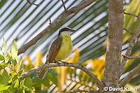 0701-1103  Social Flycatcher (Vermilion-crowned Flycatcher), Belize River in Belize, Myiozetetes similis  © David Kuhn/Dwight Kuhn Photography