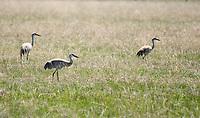 Three Sandhill Cranes, Grus canadensis, feeding in a meadow near Hyatt Lake, Oregon