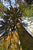 Scots Pine - Pinus sylvestris, Stoke Wood, Oxfordshire.