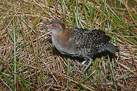 Black Rail - Laterallus jamaicensis - female