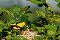 01640-10217 American Goldfinch (Carduelis tristis) male feeding female at nest, Marion Co. IL