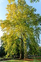 France, Indre-et-Loire (37), Azay-le-Rideau, parc et château d'Azay-le-Rideau en automne, platanes remarquable par leur hauteur (± 47 m / 150-20ans)