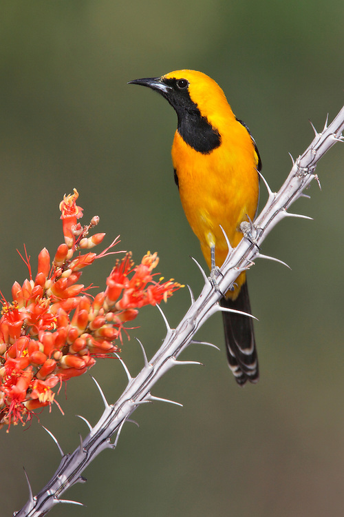 Hooded Oriole - Icterus cucullatus - male