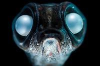 Deep sea smelt, Bathylagus antarcticus, South Atlantic Ocean