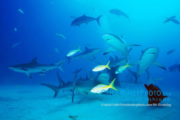 Caribbean reef sharks, Carcharhinus pelezi, Freeport, Grand Bahama, Bahamas, Caribbean Sea, Atlantic Ocean