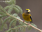Evening Grosbeak (Coccothraustes vespertinus) perched on spruce branch in winter, New York, USA