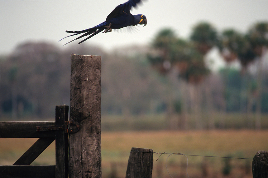 A hyacinth macaw -- the world's largest macaw, and an endangered species found only in Brazil's giant Pantanal Mato Grossense wetland, takes flight from a fence at the Fazenda Rio Negro ranch. The wetland, half the size of France, supports one of the most intact arrays of wildlife in the world, despite 200 years of cattle ranching. Subdivision of properties in the region weaken the economic viability of the traditional ranches.