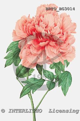 Alfredo, FLOWERS, paintings, BRTOBG3014,#F# Blumen, flores, illustrations, pinturas ,everyday