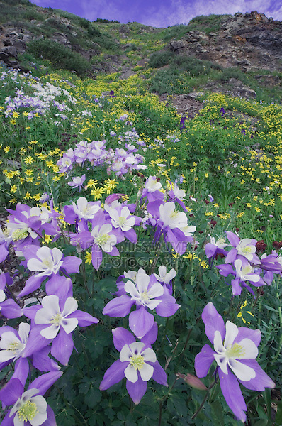 Wildflowers in alpine meadow,Blue Columbine,Colorado Columbine,Aquilegia coerulea, Heartleaf Arnica,Arnica cordifolia,Ouray, San Juan Mountains, Rocky Mountains, Colorado, USA, July 2007