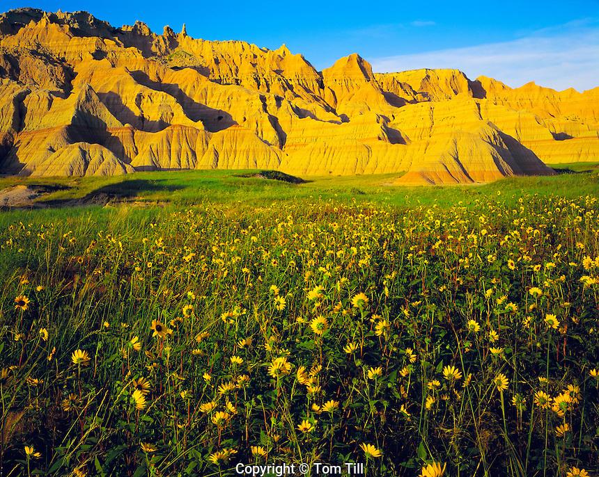 Sunflowers and Badlands, Badlands National Park, South Dakota