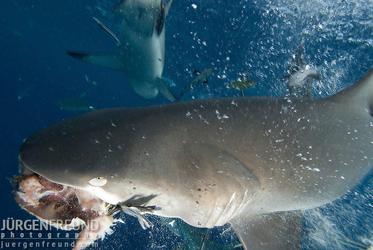 Grey Reef shark at North Horn with fish head bait in mouth.Carcharhinus amblyrhynchos