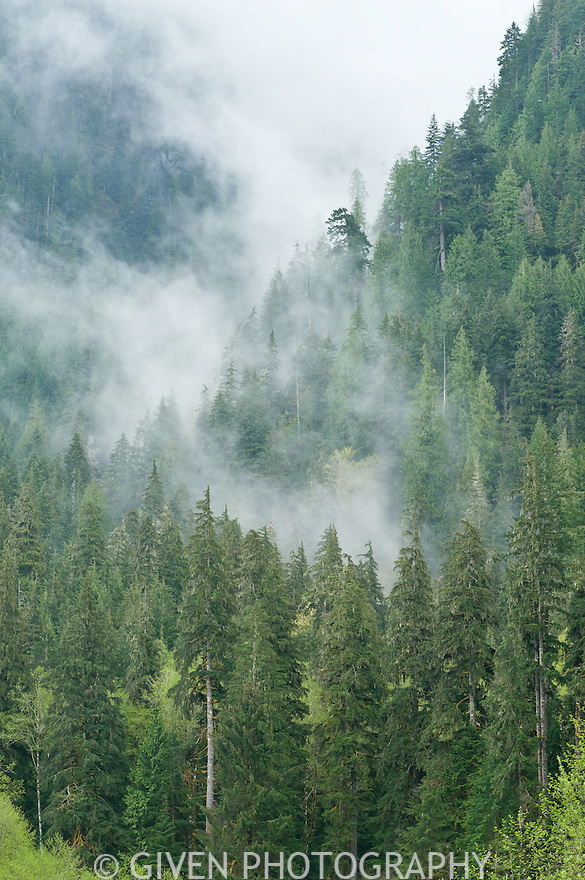 Forest in low clouds, Mt. Baker National Forest, Washington