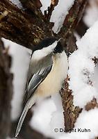 1J04-596z  Black-capped Chickadee, in winter snow,  Poecile atricapillus or Parus atricapillus