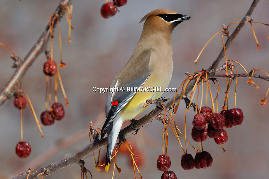 00165-011.03 Cedar Waxwing pauses while feeding on crab apples.  Fruit, red, bird, birding, mask, crown.  H4R1