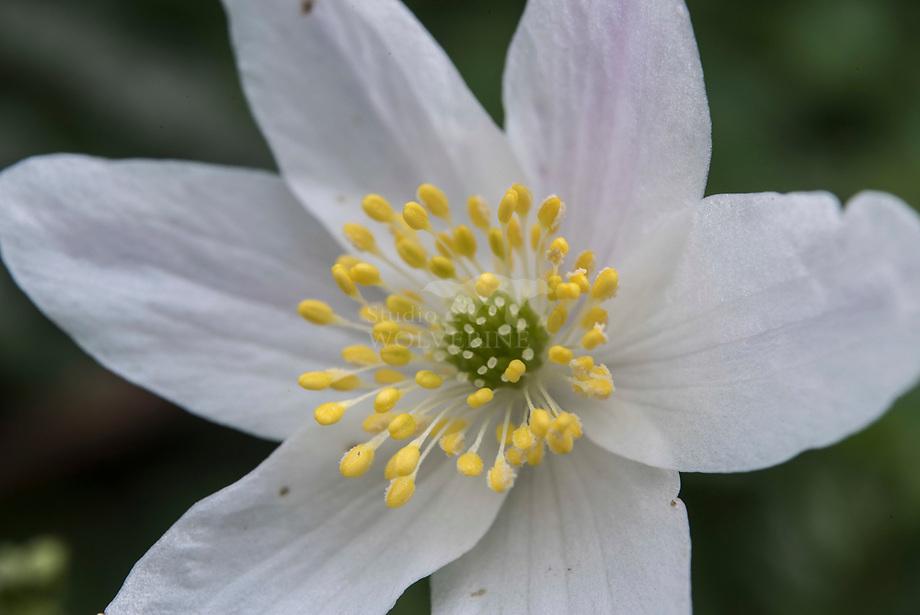 Bos anemoon (Anemone nemorosa)