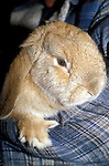 Giant lop rabbit, Oryctolagus cuniculus