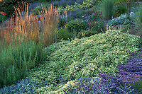 Salvia officinalis 'Variegated Berggarten',  culinary sage in Albers Vista Gardens with Calamagrostis x acutiflora grass, rosemary and lavender