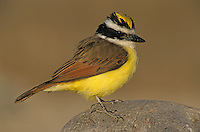 Great Kiskadee, Pitangus sulphuratus, adult, Starr County, Rio Grande Valley, Texas, USA