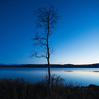 Lone tree on shore of lake Sitojaure, Kungsleden trail, Lapland, Sweden