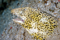 Marbled snake eel, Callechelys marmorata, Solomon Islands, Pacific Ocean