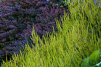 Calluna vulgaris 'Firefly', (Scottish Heather) with Berberis thunbergii 'Crimson Pygmy' (Japanese Barberry), colorful shrub foliage combination; Seattle Washington, Stacie Crooks design
