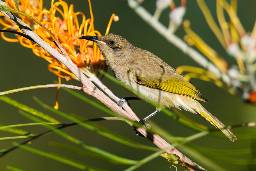 Brown Honeyeater, Ballina, New South Wales.
