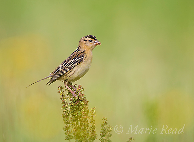 Bobolink (Dolichonyx oryzivorus), female holdng food for young in her bill, New York, USA