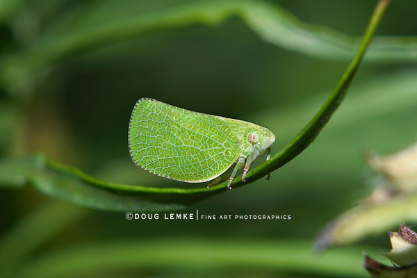 Planthopper, Leaf Hopper, Acanalonia conica, Masters Of Mimicry