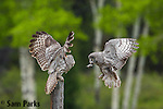 Great gray owl pair exchanging vole. Grand Teton National Park, Wyoming.