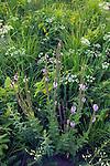 hoary vervain (Verbena stricta) in native prairie, Marieta Sand Prairie State Preserve, Marshall County, Iowa