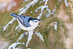 White-breasted nuthatch perched in a snow-covered spruce holding a sunflower seed.