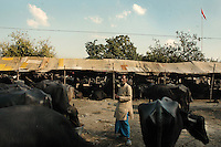 A owner with his buffaloes at Sonepur fair ground. Bihar, India, Arindam Mukherjee