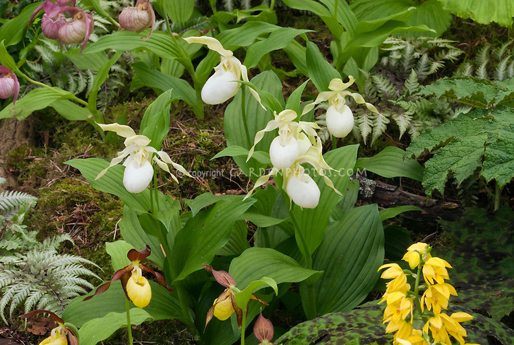 Hardy Orchids types growing together ladyslippers, Calanthe, Cypripedium