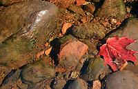 Maple leaf lying on rocks in a shallow stream.
