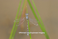 06033-001.07 Sweet Flag Spreadwing (Lestes forcipatus) male in wetland, Marion Co. IL