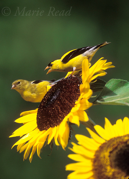 American Goldfinches (Carduelis tristis), male (right) acting aggressively toward  female (left), perched on sunflower, Ithaca, New York, USA<br /> Slide # B167-307