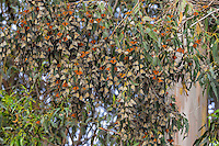 Western Monarch Butterflies (Danaus plexippus) in wintering cluster, coastal California.  Many have their wings out catching the sun to warm up.  Monarch butterflies cannot fly if their body temperature is less than 86 degrees.  We generally assume that monarchs can fly if it is above 60 degrees F, and above 50 degrees if it is sunny. The sun allows them to warm their flight muscles enough to fly.
