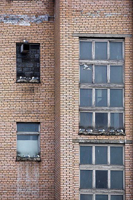 Kittiwakes nest on a window sill, the new cliff face, in the Russian coal mining town of Barentsburg. Spitsbergen. Norway.