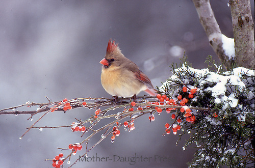 Female cardinal in winter on Holly branch with red berries