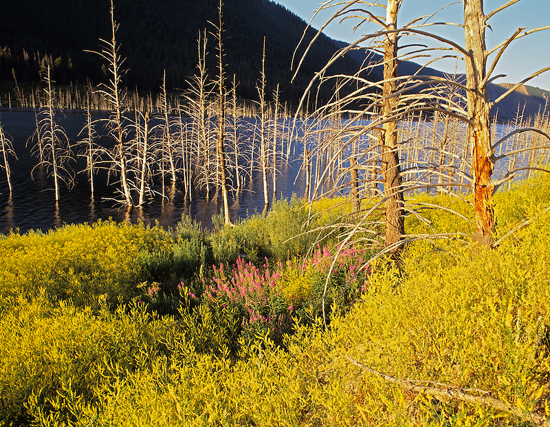 Wildflowers and dead trees at Quake Lake, Montana.