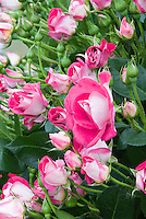 Rosa 'Peppermint Pop' aka Radcarn' pink and white two toned roses