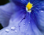 Water droplets on a flower