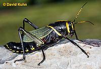 0913-0821  Adult Horse Lubber Grasshopper - Taeniopoda eques © David Kuhn/Dwight Kuhn Photography.