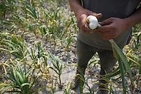 Europe/France/Bretagne/35/Ille et Vilaine/ Cherrueix: récolte des Oignons blancs chez Mr Vaevien maraicher