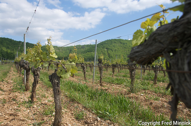 Vines in Cahors, France.