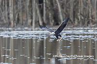 00807-03807 Bald Eagle (Haliaeetus lecocephalus) fishing Clinton Co. IL